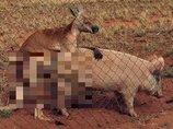 豚とセックスするカンガルーが激写される!=オーストラリア