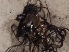 """【閲覧注意】死骸から湧き出す「黒いスパゲッティ」 ― 昆虫を""""入水自殺""""させる恐怖の寄生虫の正体は?"""