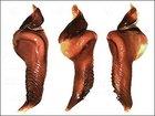 トゲだらけのパルパルバルブ(ペニス)を持つ新種タランチュラが出現! 振り回せば武器になる凶悪すぎる股間=コロンビア