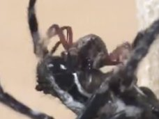 """メスがオスに""""クンニ奉仕""""を強要する蜘蛛が発見される! 唾液を垂らして局部を舐める驚きの理由とは?"""