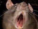 """地雷を探すためだけに生まれた生命 ― 遺伝子組み換えネズミ""""スーパーラット""""とは?"""