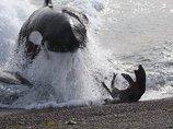 【驚愕】なんという思いやり! ザトウクジラがシャチの攻撃からアザラシを救出