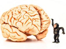 ヒトの大脳はどうして巨大化してきたのか? そもそも脳が大きければ知性は高いのか?