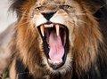 残酷度は共食い以上! ライオンの「子殺し」の実態を獣医が明かす