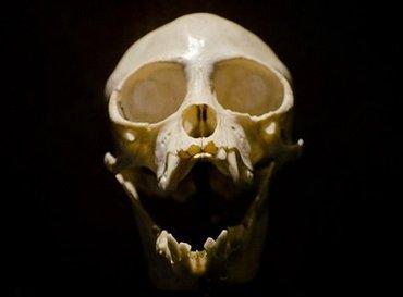 「チンパンジーは煮込み、小動物はポリデントで肉溶かす」骨格標本作りの地獄絵図を獣医師が語る