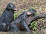 """人間にセックスをせがむ淫乱オランウータン、""""精液の壁""""に棲むチンパンジー…!? 獣医師がサルの性を衝撃暴露"""