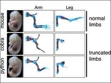 【衝撃】ヘビの遺伝子をマウスに注入→手足のないマウス誕生!! 理学博士「もちろん人にも応用可能」
