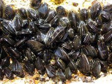 食べると記憶が消える貝がある! 貝1つで記憶障害、2つで死亡… 貝毒「ドウモイ酸」の恐怖とは?【ググっても出ない毒薬の手帳】