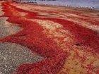 クリスマス島のアカガニ大移動が圧巻すぎる! 理学博士「人間の伝染病が関係」