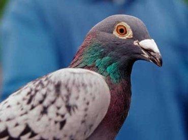 ニューヨークの町中でタカが鳩を狩る姿が目撃される!