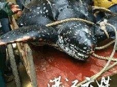 希少動物を食べて精力増強!? 世界最大のウミガメ解体映像がネット流出、キングコブラも……