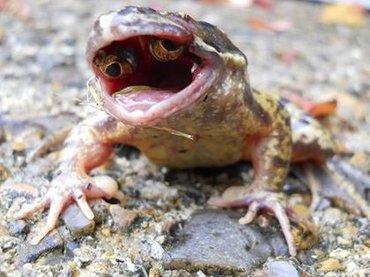 【未解明】口の中に目玉を持つ奇形カエルが出現! 理学博士がトカナの取材に首を捻る