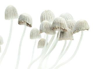 【幻覚キノコ「マジックマッシュルーム」でがん患者の絶望感を緩和  エクスタシーでも有効性の研究が!