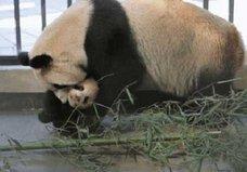 10年間で5頭が変死!? 獣医不足、不衛生な飼育環境……上海野生動物園はパンダの墓場か?