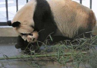【10年間で5頭が変死!? 獣医不足、不衛生な飼育環境……上海野生動物園はパンダの墓場か?