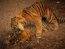 動物園に侵入した男がトラに喰い殺される映像