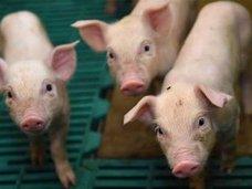 ペルー人女性が生放送中に子豚に授乳!