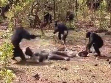 """チンパンジーが""""痴情のもつれ""""で集団リンチ! 股間を噛みちぎって殺害する犯行現場が撮影される(最新研究)"""