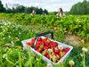 <イチゴ狩り>の前に必ず知っておきたい、農薬の使用実態と残留農薬の検査結果