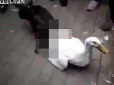 """【閲覧注意】犬がアヒルを""""ものすごい体位""""で激しくレイプした後、殺害! """"異種姦""""性犯罪の決定的瞬間!!"""