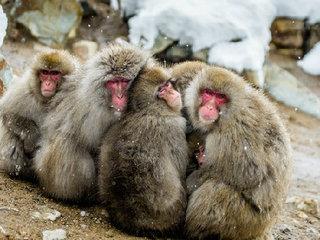 【アカゲザルと交雑したニホンザル57頭を殺処分!生態系を守るための「外来生物法」の実態とは?