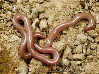 【全長1.5メートルにおよぶミミズがフィリピンで確認される!