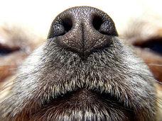 【嗅診って何? 息を嗅げば病気の正体がわかる! がんを嗅ぎ分ける探知犬も活躍