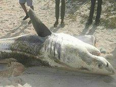 """【""""肝臓のない""""サメの死骸が次々打ち上げられる! 宇宙人かUMAか、理学博士が真犯人に迫る!=南アフリカ"""