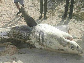 """""""肝臓のない""""サメの死骸が次々打ち上げられる! 宇宙人かUMAか、理学博士が真犯人に迫る!=南アフリカ"""