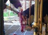 【徹底取材】牛の除角作業がマジで残虐すぎる! 血まみれ飼育員、ショック死する牛も… 中韓より劣る日本の畜産環境