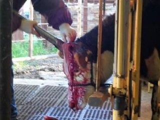 【【徹底取材】牛の除角作業がマジで残虐すぎる! 血まみれ飼育員、ショック死する牛も… 中韓より劣る日本の畜産環境