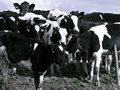 """【閲覧注意】恐怖の「と蓄事故」 ― 牛の""""蹴り一発""""で空中回転する老人、頭から落ちて…"""