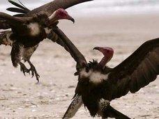 2羽の雄ワシが卵の孵化に成功!