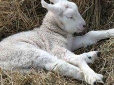 南アフリカで半分人間の姿をした羊が誕生?