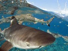 「水の怪物」マイケル・フェルプスがサメと競泳!