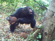 """【【衝撃映像】チンパンジーが宗教を獲得した証拠か!? 木の穴に岩を集めて投げつける""""謎の儀式""""が確認される!(最新研究)"""