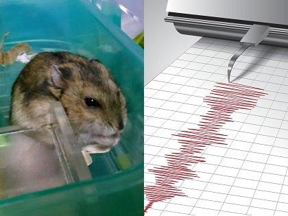 【実録】ハムスターは完全に地震発生を予知することが判明!! アノ回数が増えまくっていたら… すぐに大地震が来る!?