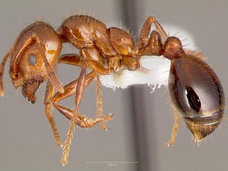 【【ヒアリ】火蟻毒の90%はコショウに含まれる辛み成分「ピペリジン化合物」だった! 刺されると●●したような激痛が…!?