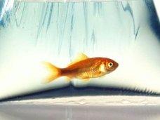 【寒い部屋で金魚を飼えば、水槽の水がビールになる!? 体内で酒を作りだす金魚のメカニズムを理学博士が徹底解説!