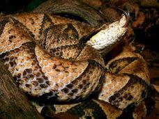 【閲覧注意】「噛まれたら100歩進まぬうちに死ぬ」世界最凶の毒ヘビ・ヒャッポダに噛まれたらこうなる