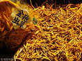 """高級漢方の代名詞「冬虫夏草」の""""抗がん作用""""はウソだった!? 中国研究チームが衝撃の発表"""
