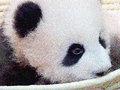 【悲報】パンダ・シャンシャンの名前が超縁起悪いことが発覚!「心労・孤独・気苦労多い、そして…」LoveMeDo氏が警鐘&助言