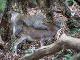 電通のセクハラ問題だけではない! ニホンザルが鹿にセクハラまがいの行為をしていることが論文で発表される!