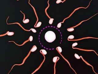【新事実】卵子は精子を遺伝子レベルで選別していることが判明! 「メンデルの法則」に致命的ミス発覚か!?
