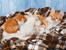 ネコは一度の出産で複数のオスの子どもを生む。人間も。
