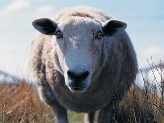 """【世界初】ヒツジとヒトのハイブリッド胚が誕生! """"羊人間""""から人間への「異種間臓器移植」が現実化へ"""