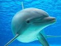 【衝撃】イルカはフグをキメてハイになっていることが発覚! 「奇妙な振るまい…」ダウナー系ドラッグとして使用か!?