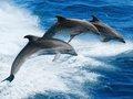 イルカは互いに「名前」で呼び合い会話していることが判明! 同盟を結んで戦いも… 異様に賢い実態に戦慄(最新研究)