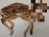 【衝撃画像】超絶珍しい「双頭鹿」が発見される! 330年で19例、野生動物の結合双生児を待ち受ける悲しい運命とは!?