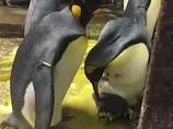ゲイペンギンのカップルが育児放棄された子ペンギンを保護! あまりの生産性に飼育員も感動、2人の優しさについて語る!